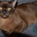 Merlin Burmese King(1)